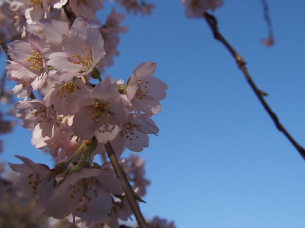 京都 醍醐寺の桜