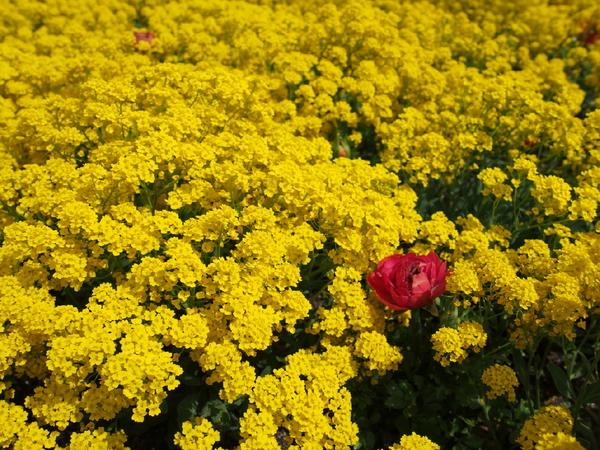2014年4月19日チューリップ畑